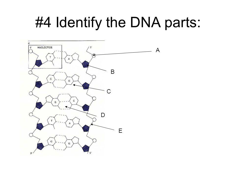 #4 Identify the DNA parts: A B C D E