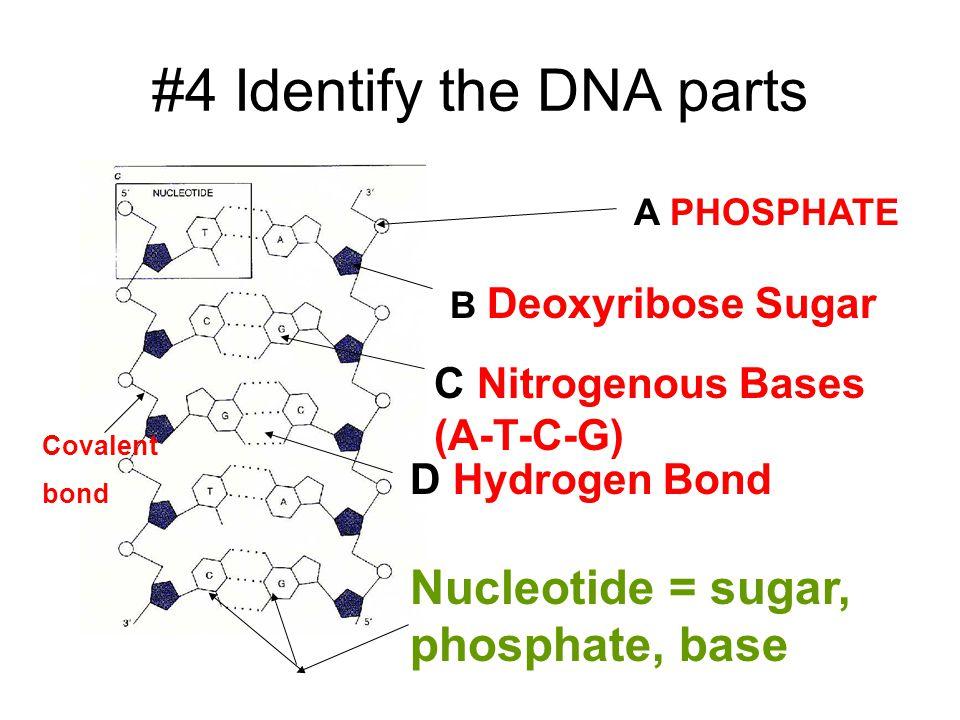 #4 Identify the DNA parts A PHOSPHATE B Deoxyribose Sugar C Nitrogenous Bases (A-T-C-G) D Hydrogen Bond Nucleotide = sugar, phosphate, base Covalent bond