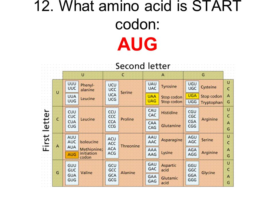 12. What amino acid is START codon: AUG