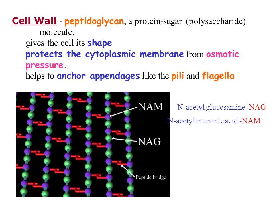 Cell Wall - peptidoglycan, a protein-sugar (polysaccharide) molecule.
