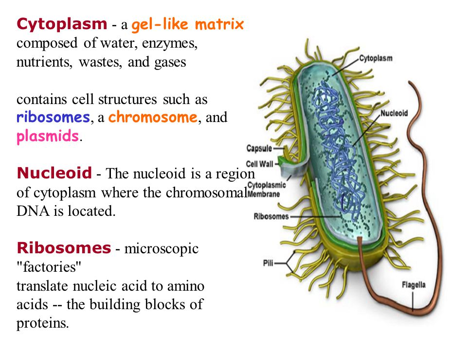 Cytoplasm - a gel-like matrix composed of water, enzymes, nutrients, wastes, and gases contains cell structures such as ribosomes, a chromosome, and plasmids.