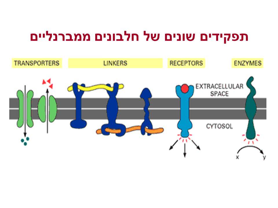 תפקידים שונים של חלבונים ממברנליים