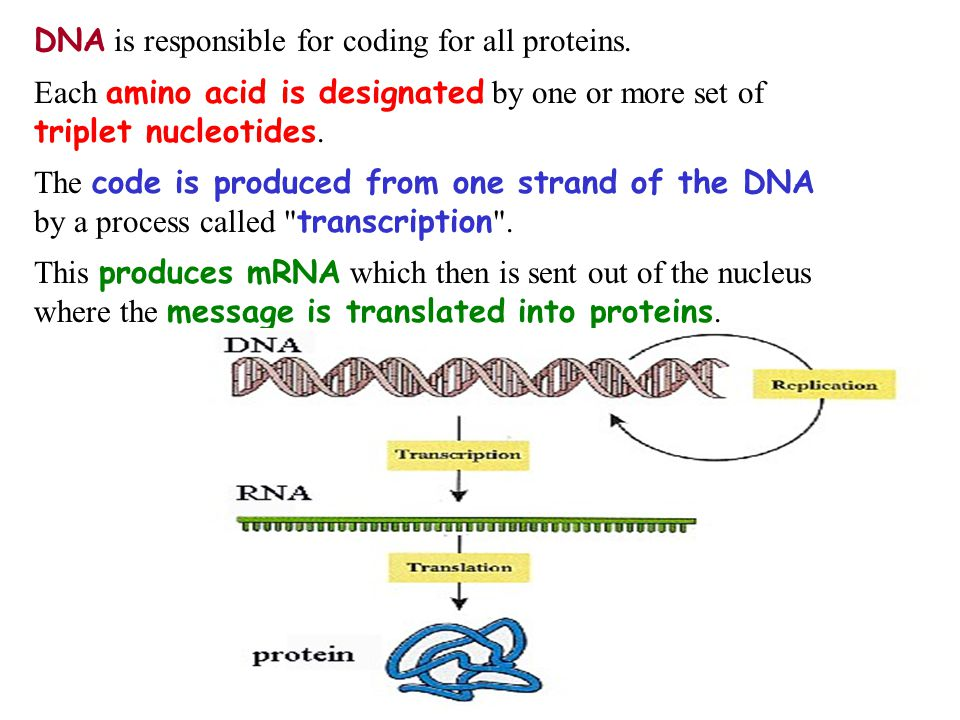 DNA is responsible for coding for all proteins.