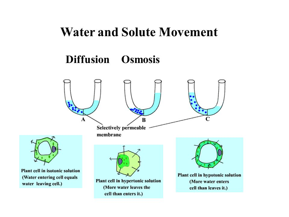 Water and Solute Movement Diffusion Osmosis