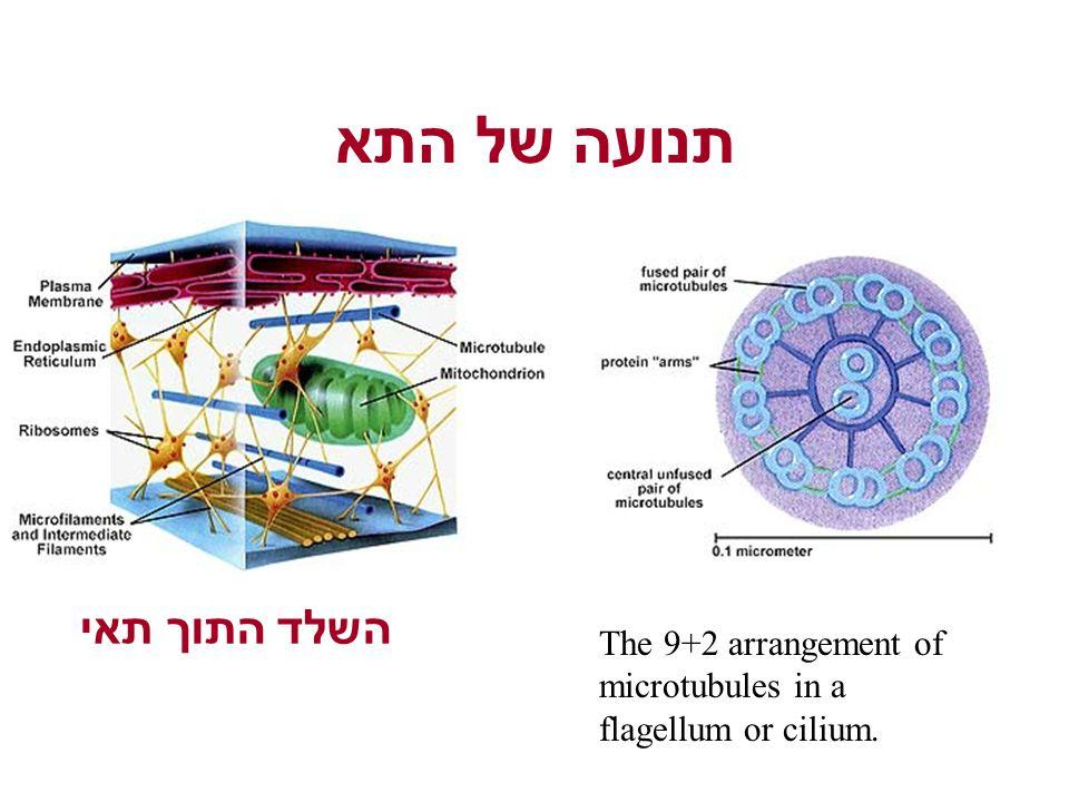 תנועה של התא The 9+2 arrangement of microtubules in a flagellum or cilium. השלד התוך תאי