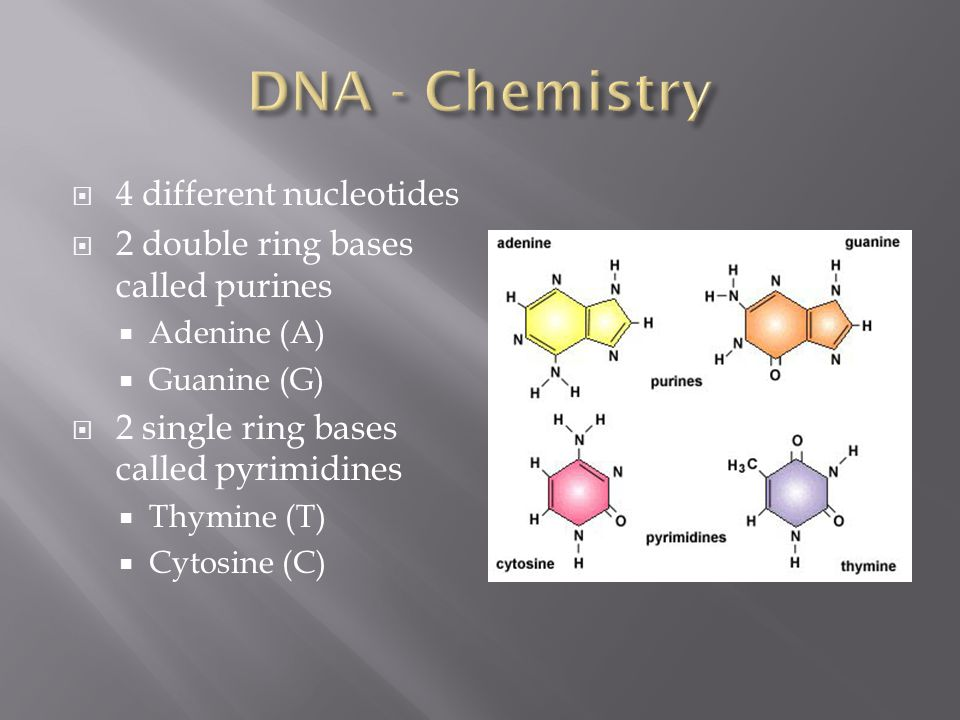  4 different nucleotides  2 double ring bases called purines  Adenine (A)  Guanine (G)  2 single ring bases called pyrimidines  Thymine (T)  Cy