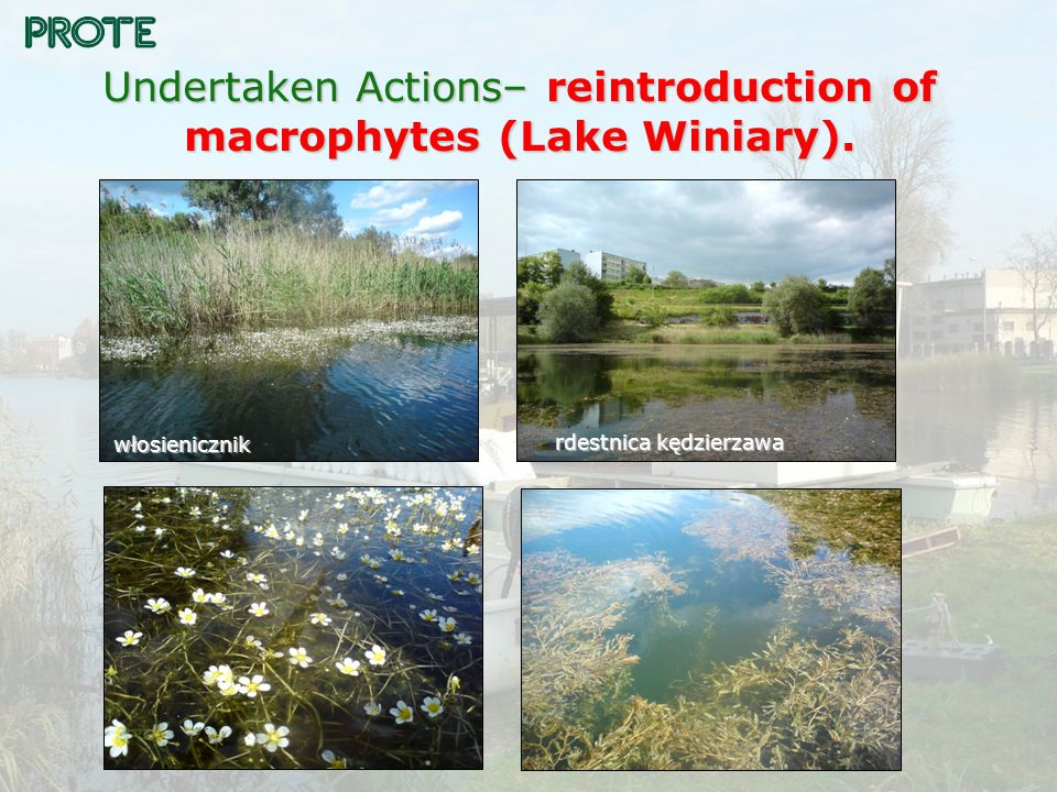 Undertaken Actions– reintroduction of macrophytes (Lake Winiary).