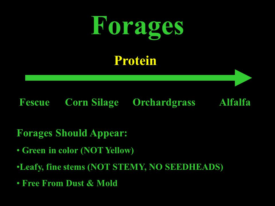 Forages Protein FescueCorn SilageOrchardgrassAlfalfa Forages Should Appear: Green in color (NOT Yellow) Leafy, fine stems (NOT STEMY, NO SEEDHEADS) Free From Dust & Mold