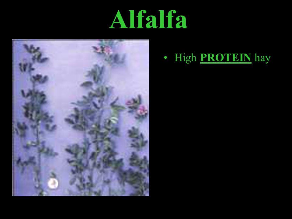 Alfalfa High PROTEIN hay