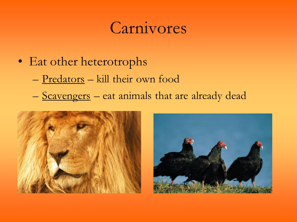 Carnivores Eat other heterotrophs –Predators – kill their own food –Scavengers – eat animals that are already dead