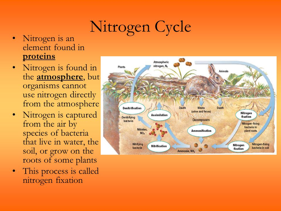 Nitrogen Cycle Nitrogen is an element found in proteins Nitrogen is found in the atmosphere, but organisms cannot use nitrogen directly from the atmos