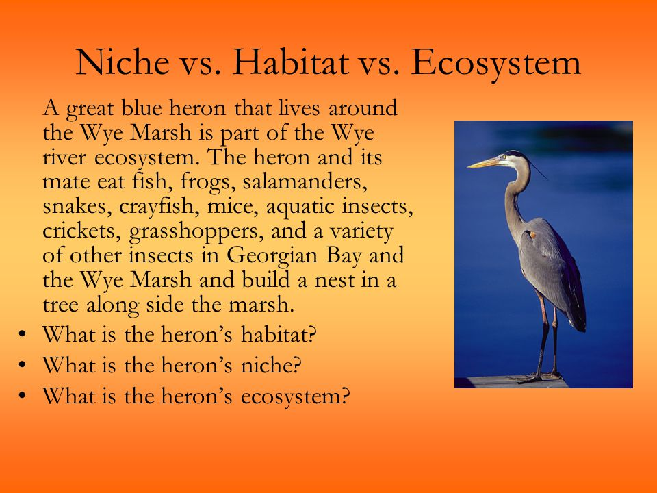 Niche vs. Habitat vs. Ecosystem A great blue heron that lives around the Wye Marsh is part of the Wye river ecosystem. The heron and its mate eat fish