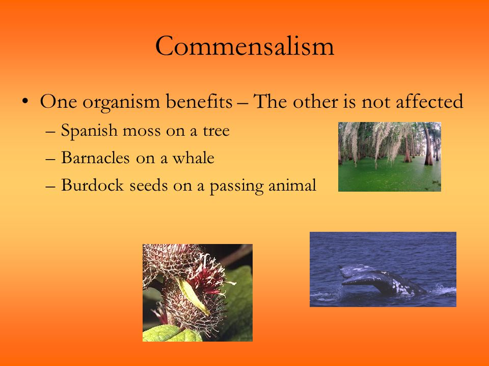 Commensalism One organism benefits – The other is not affected –Spanish moss on a tree –Barnacles on a whale –Burdock seeds on a passing animal