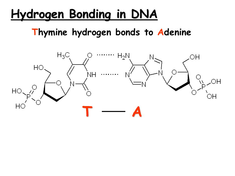 Hydrogen Bonding in DNA TA Thymine hydrogen bonds to Adenine