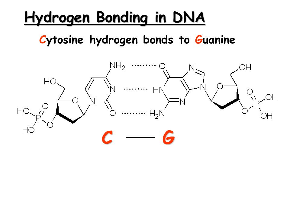 Hydrogen Bonding in DNA CG Cytosine hydrogen bonds to Guanine