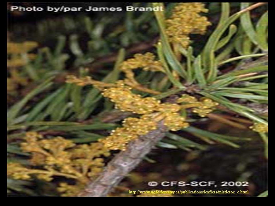 http://www.nofc.forestry.ca/publications/leaflets/mistletoe_e.html