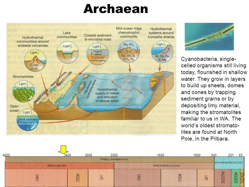 Archaean 4600 3400 3000 2500 1600 1000 545 251 65 Cyanobacteria, single- celled organisms still living today, flourished in shallow water. They grow i