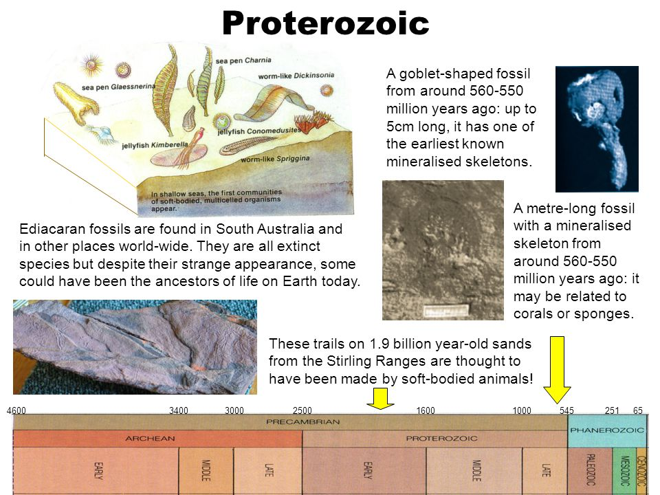 Proterozoic 4600 3400 3000 2500 1600 1000 545 251 65 Ediacaran fossils are found in South Australia and in other places world-wide. They are all extin