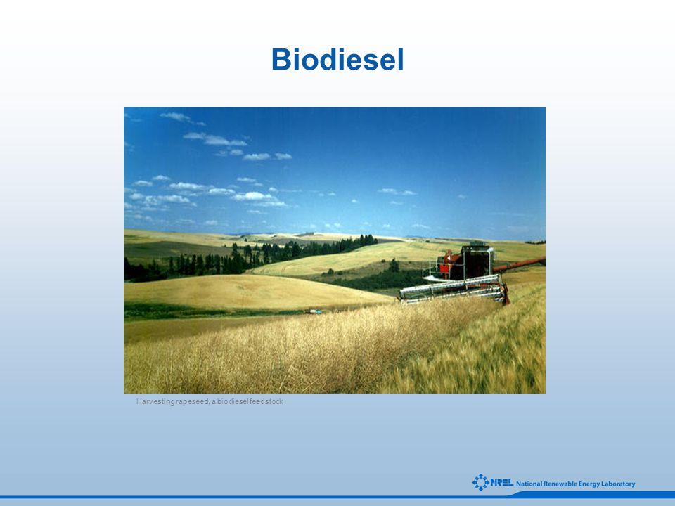 Biodiesel Harvesting rapeseed, a biodiesel feedstock