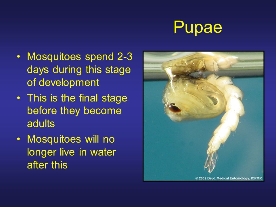 Pupae Mosquitoes spend 2-3 days during this stage of development This is the final stage before they become adults Mosquitoes will no longer live in water after this