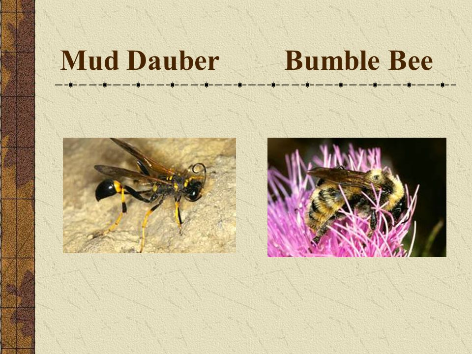 Mud Dauber Bumble Bee