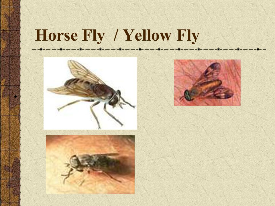 Horse Fly / Yellow Fly