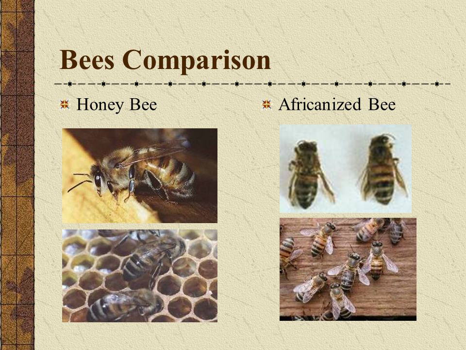 Bees Comparison Honey Bee Africanized Bee