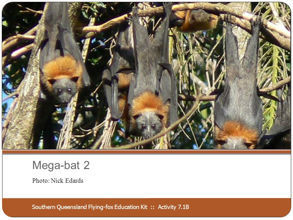 Southern Queensland Flying-fox Education Kit :: Activity 7.1B Mega-bat 2 Photo: Nick Edards