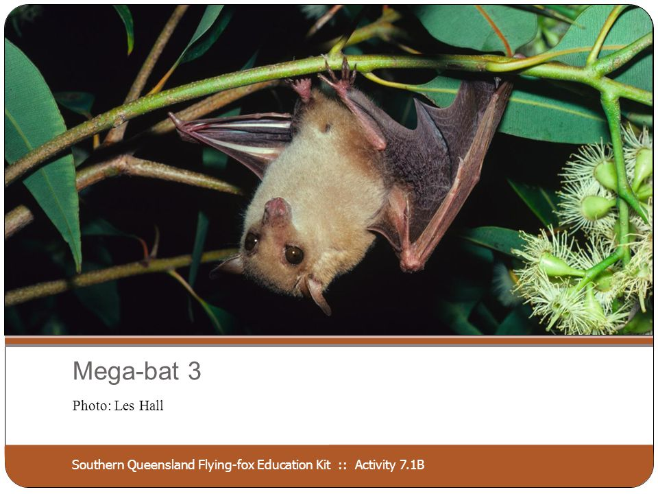 Southern Queensland Flying-fox Education Kit :: Activity 7.1B Mega-bat 3 Photo: Les Hall