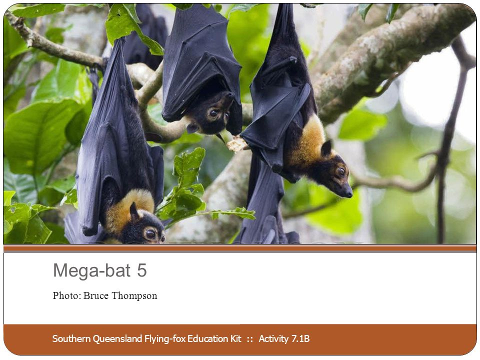 Southern Queensland Flying-fox Education Kit :: Activity 7.1B Mega-bat 5 Photo: Bruce Thompson