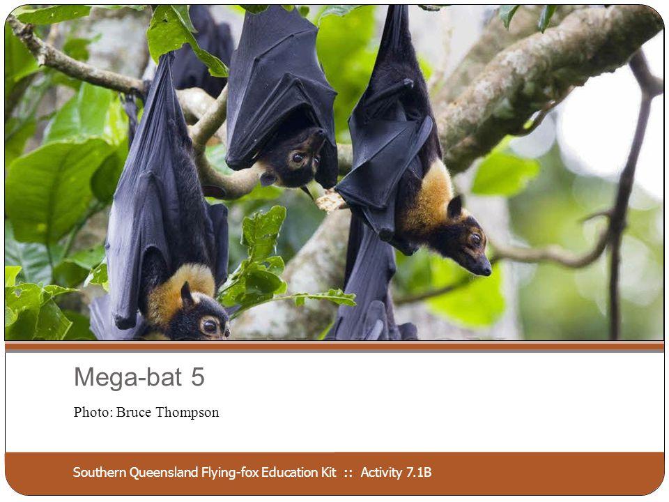 Southern Queensland Flying-fox Education Kit :: Activity 7.1B Mega-bat 6 Photo: Les Hall