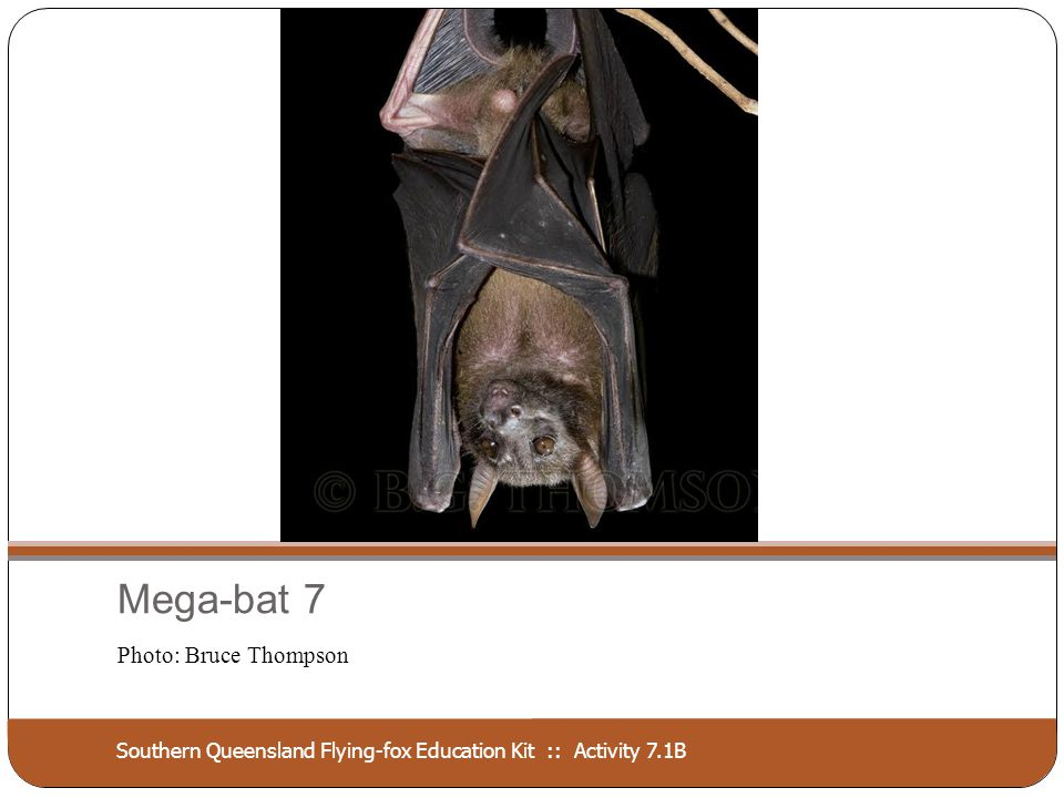 Southern Queensland Flying-fox Education Kit :: Activity 7.1B Mega-bat 7 Photo: Bruce Thompson