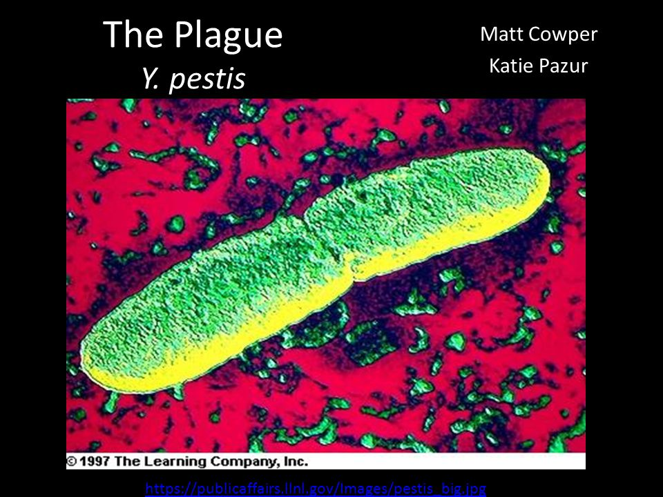 The Plague Y. pestis Matt Cowper Katie Pazur https://publicaffairs.llnl.gov/Images/pestis_big.jpg