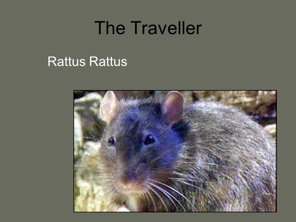 The Traveller Rattus