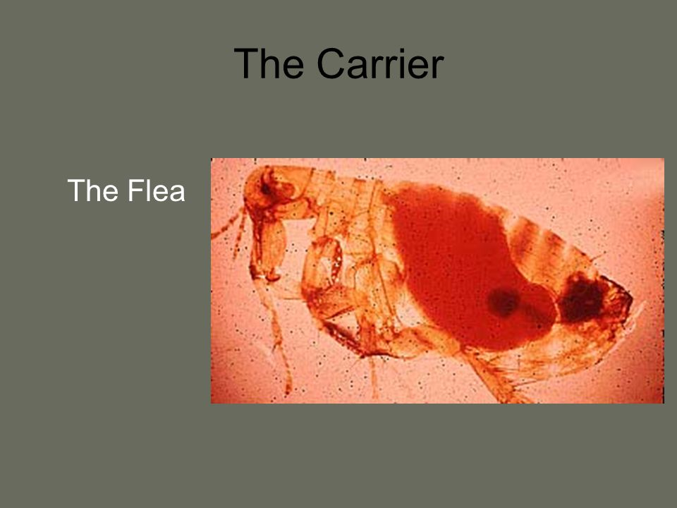 The Carrier The Flea