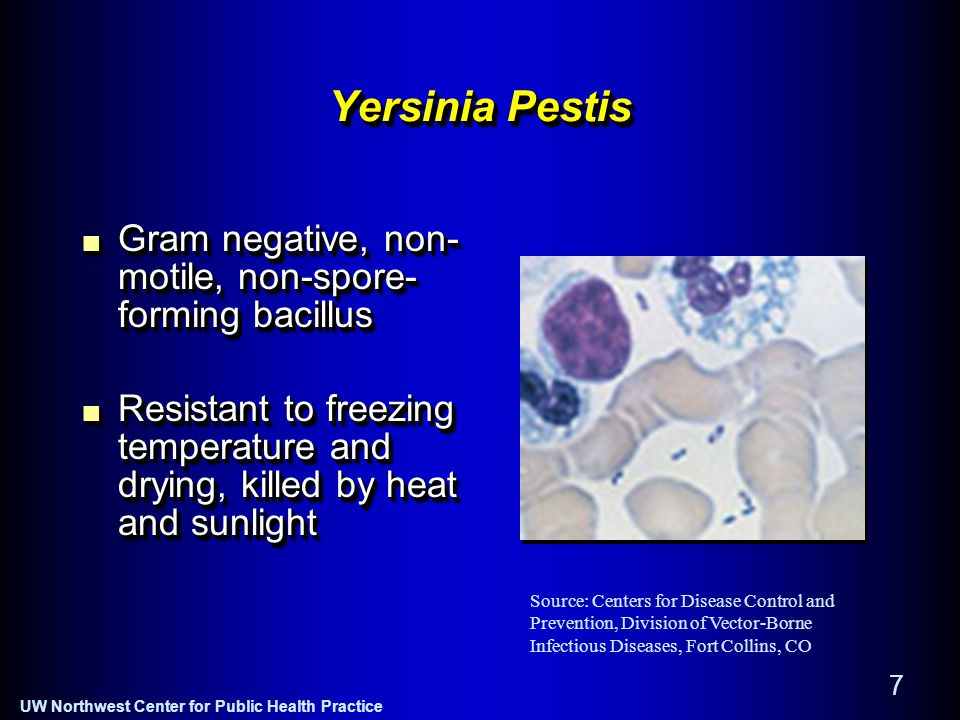 UW Northwest Center for Public Health Practice 7 Yersinia Pestis Gram negative, non- motile, non-spore- forming bacillus Resistant to freezing temperature and drying, killed by heat and sunlight Gram negative, non- motile, non-spore- forming bacillus Resistant to freezing temperature and drying, killed by heat and sunlight Source: Centers for Disease Control and Prevention, Division of Vector-Borne Infectious Diseases, Fort Collins, CO