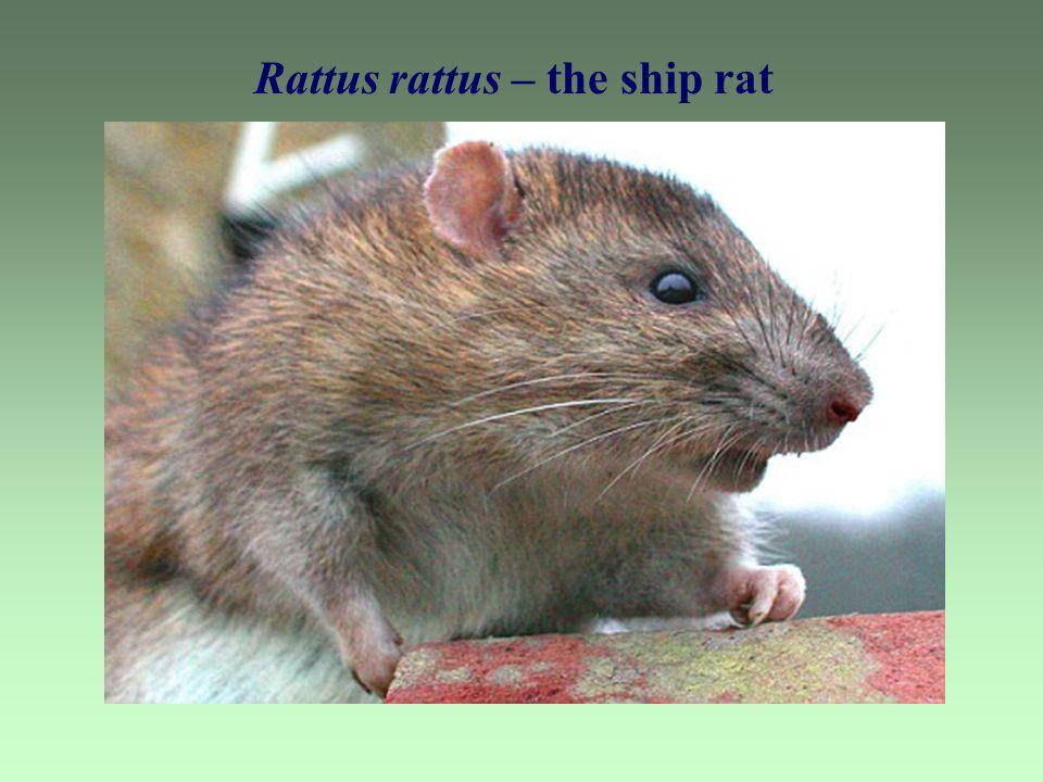 Rattus rattus – the ship rat