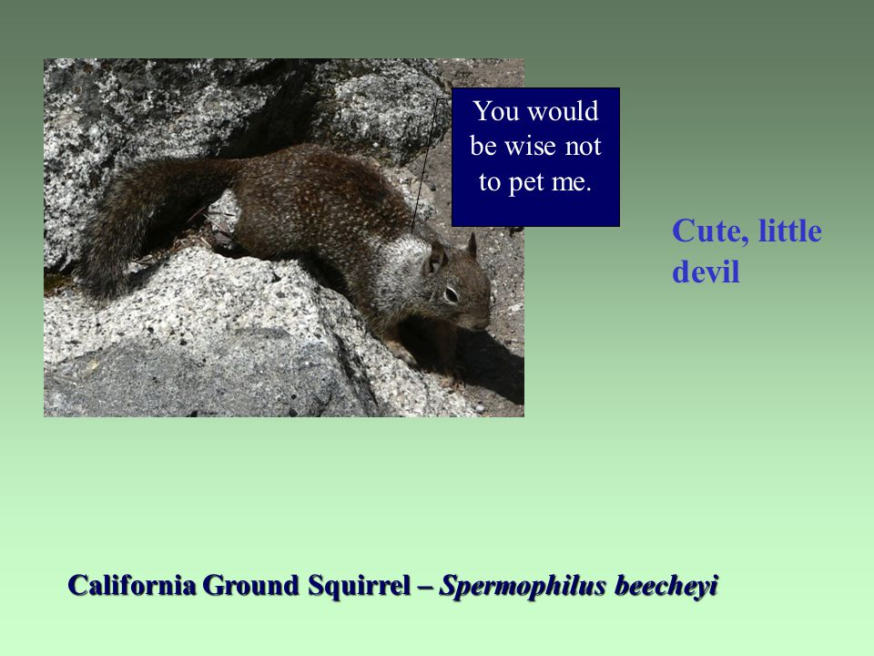California Ground Squirrel – Spermophilus beecheyi Cute, little devil You would be wise not to pet me.