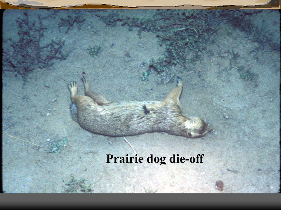 Prairie dog die-off