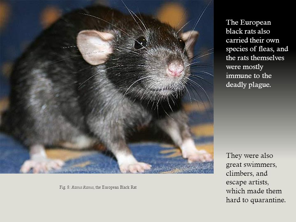 Fig. 8: Rattus Rattus, the European Black Rat The European black rats also carried their own species of fleas, and the rats themselves were mostly imm
