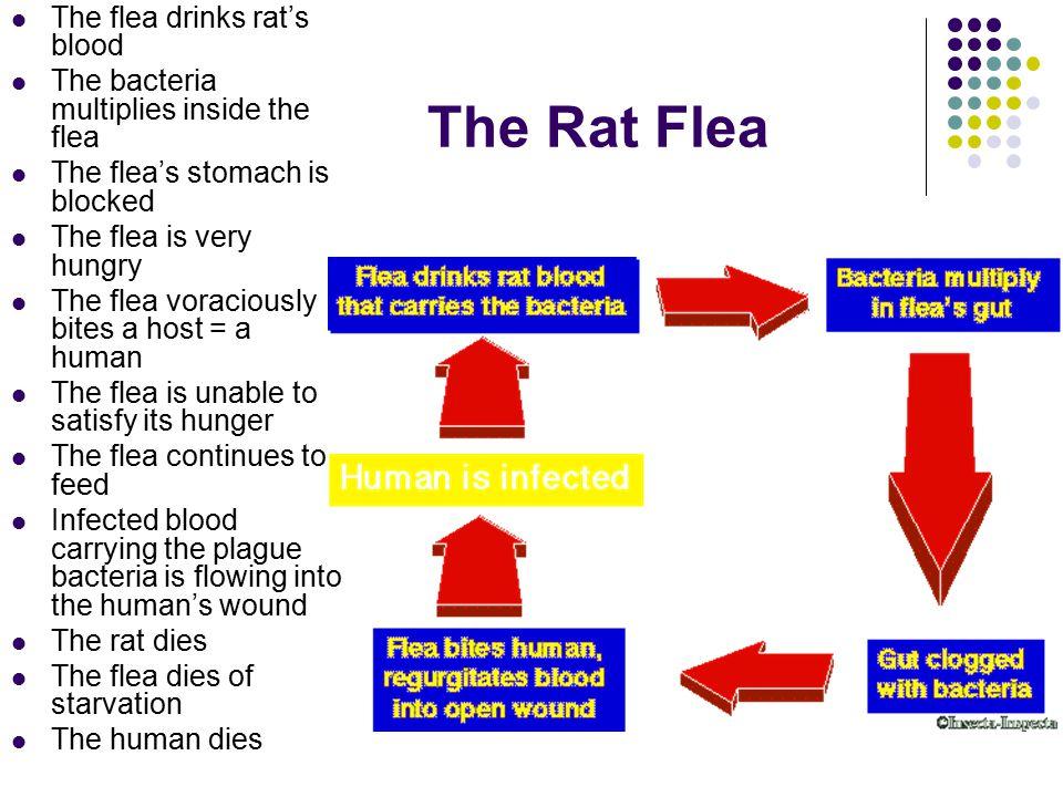 The Rat Flea The flea drinks rat's blood The bacteria multiplies inside the flea The flea's stomach is blocked The flea is very hungry The flea voraci