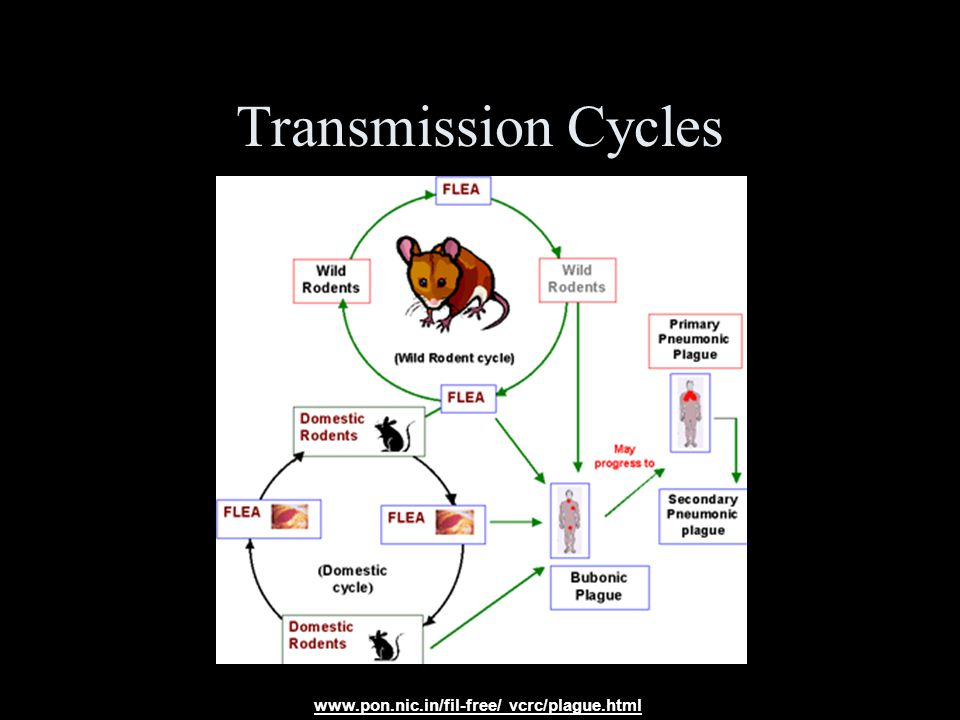 Transmission Cycles www.pon.nic.in/fil-free/ vcrc/plague.html