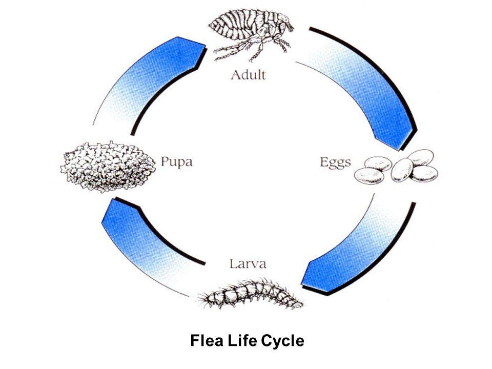 Flea Life Cycle