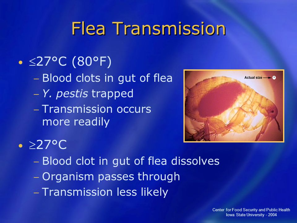 Center for Food Security and Public Health Iowa State University - 2004 Flea Transmission 27°C (80°F) − Blood clots in gut of flea − Y.