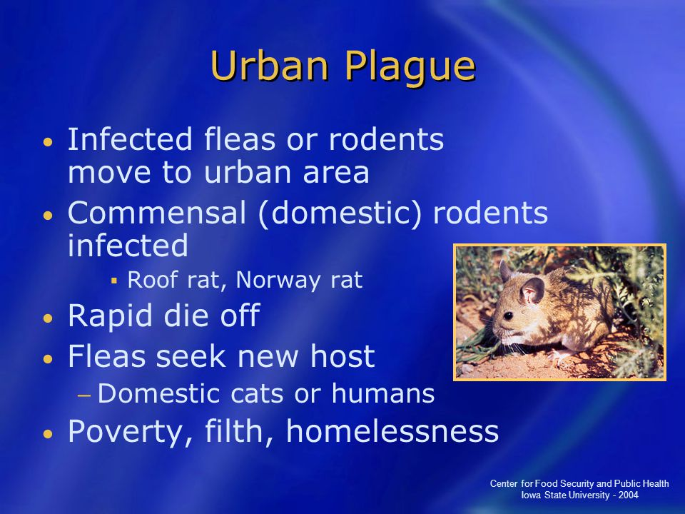Center for Food Security and Public Health Iowa State University - 2004 Urban Plague Infected fleas or rodents move to urban area Commensal (domestic) rodents infected  Roof rat, Norway rat Rapid die off Fleas seek new host − Domestic cats or humans Poverty, filth, homelessness