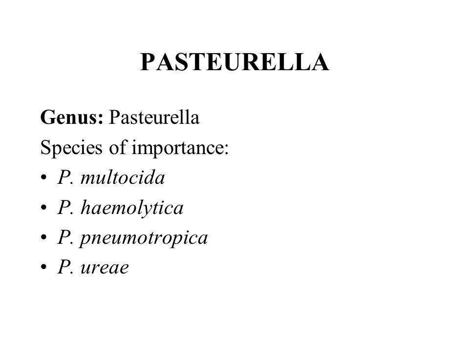 PASTEURELLA Genus: Pasteurella Species of importance: P. multocida P. haemolytica P. pneumotropica P. ureae