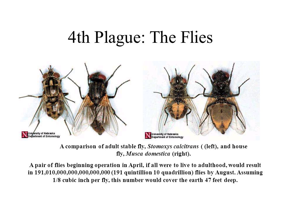 4th Plague: The Flies A comparison of adult stable fly, Stomoxys calcitrans ( (left), and house fly, Musca domestica (right). A pair of flies beginnin