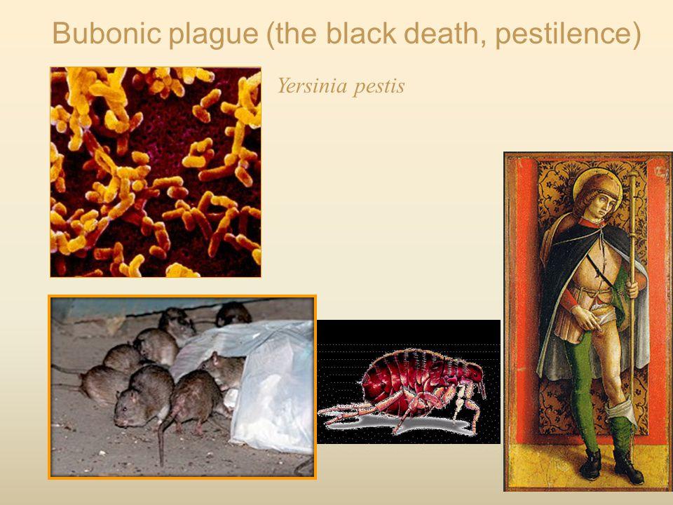 Bubonic plague (the black death, pestilence) Yersinia pestis