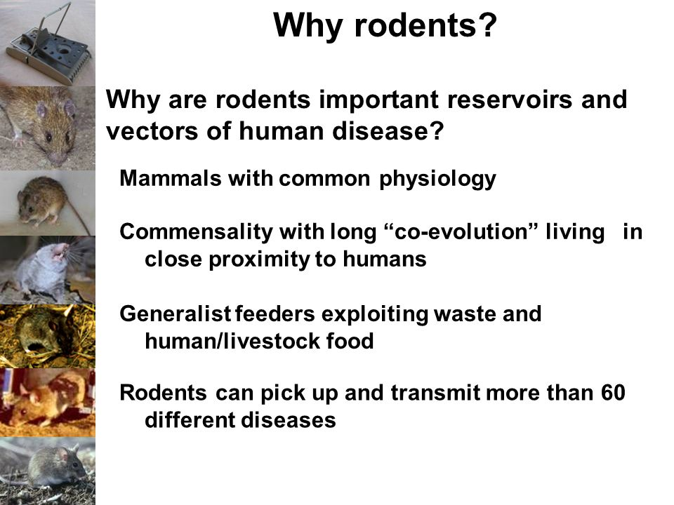 "Why rodents? Why are rodents important reservoirs and vectors of human disease? Mammals with common physiology Commensality with long ""co-evolution"" l"