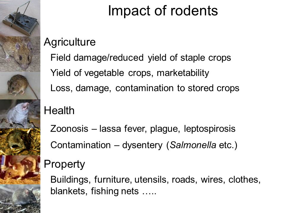 Impact of rodents Agriculture Field damage/reduced yield of staple crops Loss, damage, contamination to stored crops Health Zoonosis – lassa fever, pl
